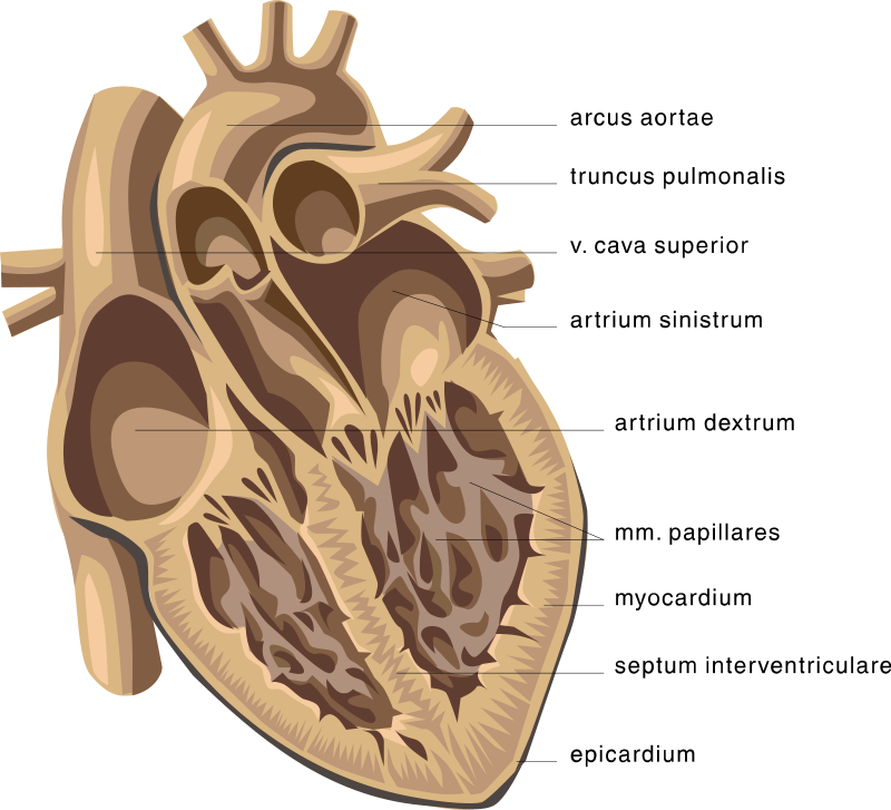 The Hearts 4 Chambers Image Collections Human Internal Organs Diagram